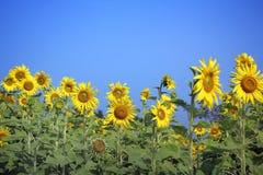 Feld von blühenden Sonnenblumen stockbilder