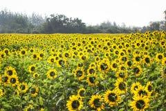 Feld von blühenden Sonnenblumen stockfotografie