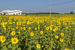 Feld von blühenden Sonnenblumen Stockfoto