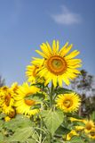 Feld von blühenden Sonnenblumen stockbild