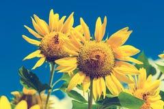 Feld von blühenden Sonnenblumen auf blauem Himmel und Wolken des Hintergrundes Lizenzfreie Stockbilder