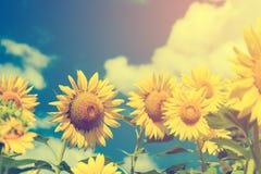 Feld von blühenden Sonnenblumen auf blauem Himmel und Wolken des Hintergrundes Stockbild
