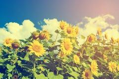 Feld von blühenden Sonnenblumen auf blauem Himmel und Wolken des Hintergrundes Stockfotos