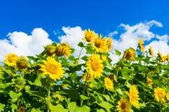 Feld von blühenden Sonnenblumen auf blauem Himmel und Wolken des Hintergrundes Lizenzfreie Stockfotos
