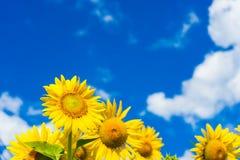 Feld von blühenden Sonnenblumen auf blauem Himmel und Wolken des Hintergrundes Stockbilder