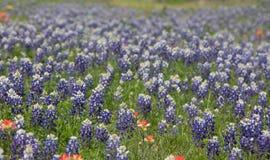 Feld von blauen Mützen im Hügelland von Texas lizenzfreie stockfotos
