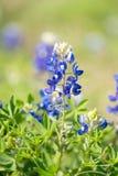Feld von blauen M?tzen in Texas stockfotos