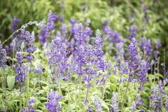 Feld von blauen salvia Blumen Selektiver Fokus stockfoto