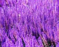 Feld von Blumen des Salbeis Stockfotos