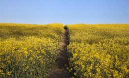 Feld von Blumen mit Weg Stockfoto