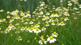 Feld von Blumen oder von Kamille des weißen Gänseblümchens stock video