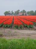 Feld von brennenden roten und orangefarbenen Tulpen Lizenzfreie Stockfotos