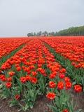Feld von brennenden roten und orangefarbenen Tulpen Stockbild