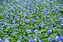 Feld von bunten blauen Veilchen Stockbild