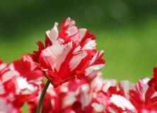 Feld von bunten Frühlings-Tulpen in Rotem und in weißem lizenzfreie stockfotos