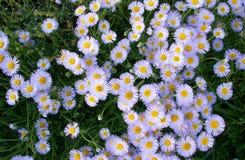 Feld von camomiles Blumen stockbilder