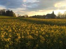 Feld von Canola und von Bauernhof Stockfoto