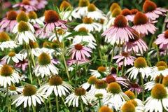 Feld von Coneflowers - Blumen Stockfotos