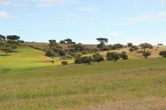 Feld von Cork Oaks Stockbild