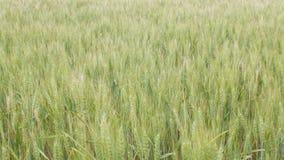 Feld von den Ährchen, die vom Wind, von der Schönheitsbegriffnatur, von den landwirtschaftlichen Kornernten, von der Gerste und v stock video footage