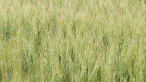 Feld von den Ährchen, die vom Wind, von der Schönheitsbegriffnatur, von den landwirtschaftlichen Kornernten, von der Gerste und v stock video