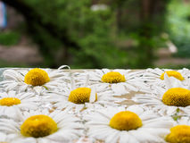 Feld von den Gänseblümchen, die in das Wasser schwimmen Kamille mit Wassertropfen Blumen mit den weißen Blumenblättern und den ge Lizenzfreie Stockfotografie