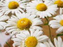 Feld von den Gänseblümchen, die in das Wasser schwimmen Kamille mit Wassertropfen Blumen mit den weißen Blumenblättern und den ge Stockbilder
