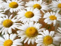 Feld von den Gänseblümchen, die in das Wasser schwimmen Kamille mit Wassertropfen Blumen mit den weißen Blumenblättern und den ge Stockfotos