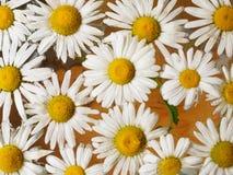 Feld von den Gänseblümchen, die in das Wasser schwimmen Kamille mit Wassertropfen Blumen mit den weißen Blumenblättern und den ge Lizenzfreie Stockfotos
