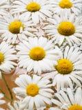 Feld von den Gänseblümchen, die in das Wasser schwimmen Kamille mit Wassertropfen Blumen mit den weißen Blumenblättern und den ge Stockbild