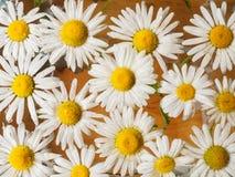 Feld von den Gänseblümchen, die in das Wasser schwimmen Kamille mit Wassertropfen Blumen mit den weißen Blumenblättern und den ge Lizenzfreie Stockbilder