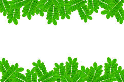 Feld von den Grünblättern und -blume auf weißem Hintergrund Stockfoto