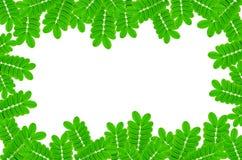 Feld von den Grünblättern und -blume auf weißem Hintergrund für lokalisiert Lizenzfreie Stockbilder