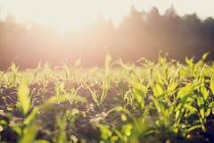 Feld von den jungen Maispflanzen hintergrundbeleuchtet durch die Sonne Lizenzfreies Stockbild