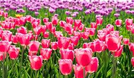 Feld von den Tulpen All-Star- lizenzfreies stockbild