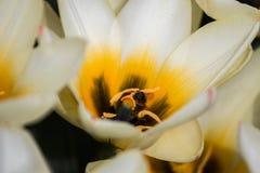 Feld von den Tulpen, die Biene fliegen Lizenzfreie Stockbilder
