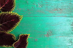 Feld von der Buntlippe verlässt auf altem gemaltem Türkis hölzernem backgro Stockfoto