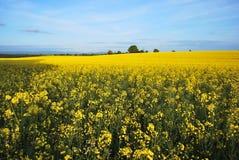 Feld von Dijon-Senf stockfoto