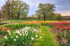 Feld von Frühlings-blühenden Tulpen stockfotos
