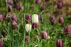 Feld von Fritillaria Lizenzfreie Stockfotografie