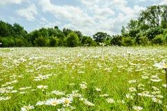 Feld von Gänseblümchen Stockbilder
