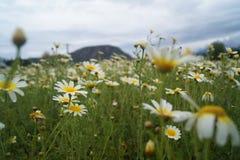 Feld von Gänseblümchen Lizenzfreie Stockbilder