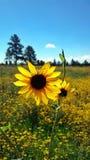Feld von Gänseblümchen Lizenzfreies Stockfoto