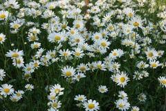 Feld von Gänseblümchen, einfache Schönheit Stockbilder