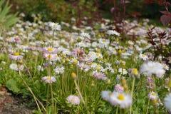 Feld von Gänseblümchen und von anderen wilden Blumen Stockfoto