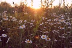 Feld von Gänseblümchen und von Sonnenuntergang kamille Lizenzfreies Stockfoto