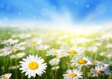 Feld von Gänseblümchenblumen Stockfotografie