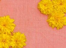 Feld von gelben Blumen gegen einen Hintergrund des rosa Stoffes Stockbilder