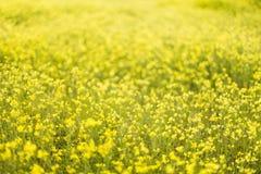 Feld von gelben Blumen Natur, schöner Hintergrund Lizenzfreie Stockfotografie