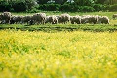 Feld von gelben Blumen und von Schafen stockfotografie